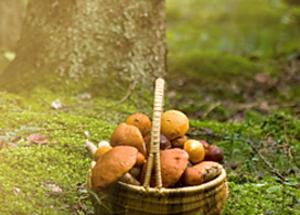La cueillette des champignons en famille